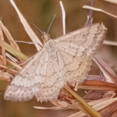 Scopula rubraria (Reddish Wave) at Mount Painter - 29 Dec 2020 by drakes