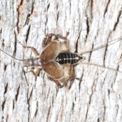Unidentified All Cricket (Orthoptera, several families) (TBC) at Aranda Bushland - 20 Jan 2021 by Harrisi