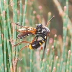 Brachyrhopala sp. (genus) (Robber fly) at Lower Boro, NSW - 21 Jan 2021 by Harrisi
