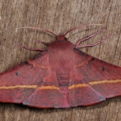 Oenochroma vinaria (Pink-bellied moth) at Melba, ACT - 11 Jan 2021 by kasiaaus