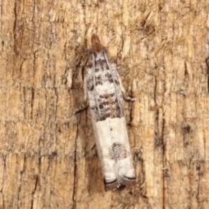 Spilonota constrictana at Melba, ACT - 12 Jan 2021