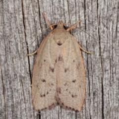 Heliocausta undescribed species (A concealer moth) at Melba, ACT - 11 Jan 2021 by kasiaaus