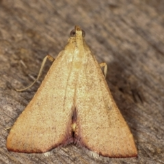 Endotricha ignealis (A Pyralid moth) at Melba, ACT - 11 Jan 2021 by kasiaaus