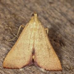 Endotricha ignealis (A Pyralid moth) at Melba, ACT - 11 Jan 2021 by kasiaaus