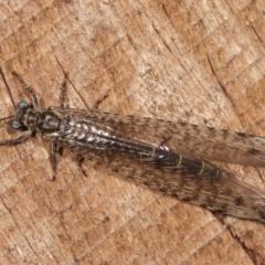 Bandidus sp. (genus) (Antlion Lacewing) at Melba, ACT - 11 Jan 2021 by kasiaaus
