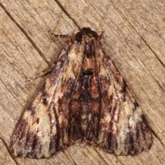 Salma cinerascens (A Pyralid moth) at Melba, ACT - 11 Jan 2021 by kasiaaus