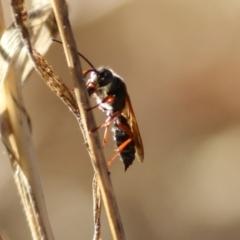 Unidentified Wasp (Hymenoptera, Apocrita) (TBC) at Wodonga - 22 Jan 2021 by Kyliegw