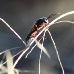 Unidentified Wasp (Hymenoptera, Apocrita) (TBC) at WREN Reserves - 22 Jan 2021 by Kyliegw