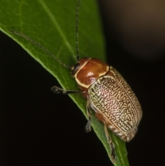 Aporocera (Aporocera) sculptilis (Leaf beetle) at Melba, ACT - 31 Dec 2020 by Bron