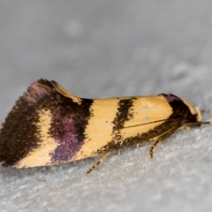 Olbonoma triptycha (Concealer moth) at Melba, ACT - 31 Dec 2020 by Bron