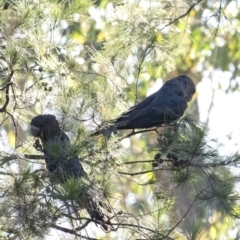 Calyptorhynchus lathami (Glossy Black-Cockatoo) at Penrose - 18 Jan 2021 by Aussiegall