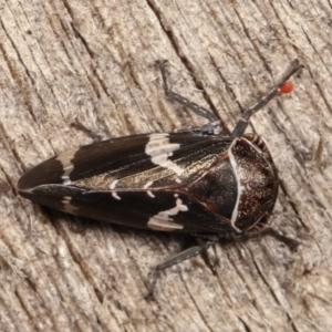 Eurymeloides punctata at Melba, ACT - 12 Jan 2021
