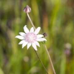 Actinotus forsythii (Pink Flannel Flower) at Morton National Park - 20 Jan 2021 by Aussiegall