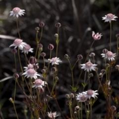 Actinotus forsythii at Morton National Park - 20 Jan 2021