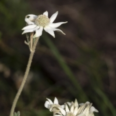 Actinotus helianthi (Flannel Flower) at Wingecarribee Local Government Area - 20 Jan 2021 by Aussiegall