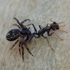 Myrmecia sp., pilosula-group (Jack jumper) at Aranda Bushland - 22 Jan 2021 by CathB