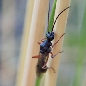 Myrmecia sp. (genus) at Aranda Bushland - 23 Jan 2021
