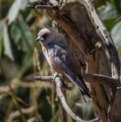 Artamus cyanopterus (Dusky Woodswallow) at Mount Ainslie - 21 Jan 2021 by trevsci