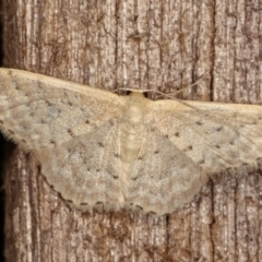 Idaea philocosma (Flecked Wave) at Melba, ACT - 11 Jan 2021 by kasiaaus