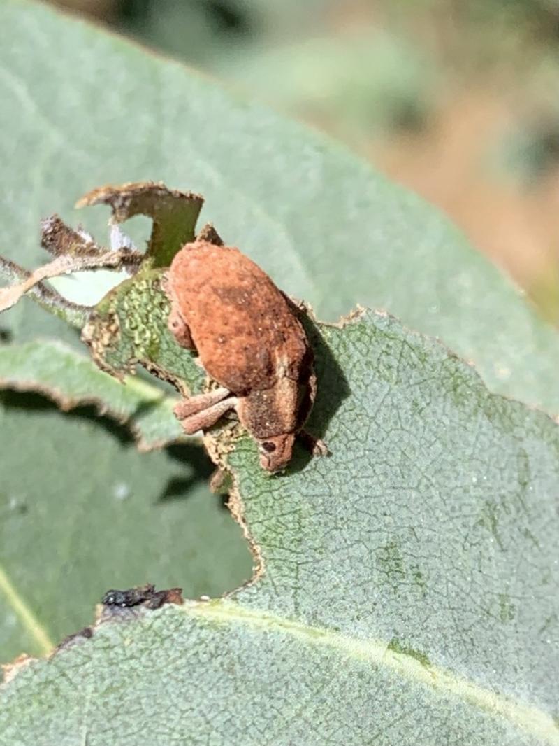 Gonipterus sp. (genus) at Murrumbateman, NSW - 23 Jan 2021