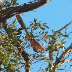 Falco longipennis (Australian Hobby) at Gungahlin, ACT - 24 Jan 2021 by davobj