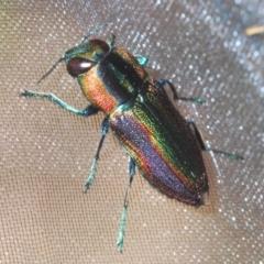 Selagis caloptera (Caloptera jewel beetle) at Larbert, NSW - 21 Jan 2021 by Harrisi