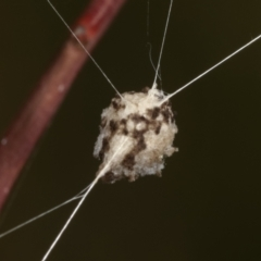 Unidentified Spider (Araneae) (TBC) at Bruce, ACT - 12 Jan 2021 by kasiaaus