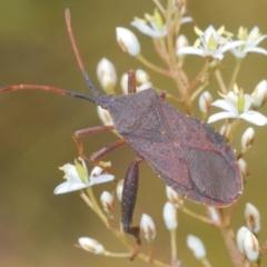 Amorbus sp. (genus) (Tip bug) at Oallen, NSW - 21 Jan 2021 by Harrisi
