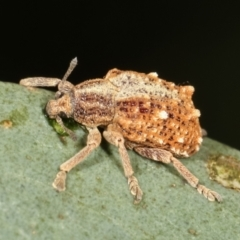 Oxyops fasciculatus (A weevil) at Flea Bog Flat, Bruce - 12 Jan 2021 by kasiaaus