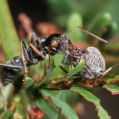 Myrmecia sp. (genus) (Bull ant or Jack Jumper) at Flea Bog Flat, Bruce - 12 Jan 2021 by kasiaaus