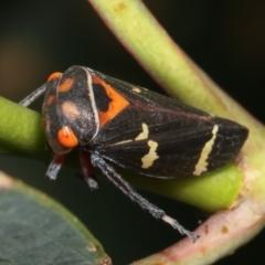Eurymeloides pulchra (Gumtree hopper) at Flea Bog Flat, Bruce - 12 Jan 2021 by kasiaaus