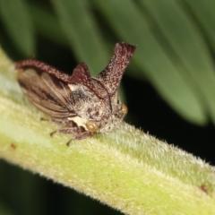 Ceraon sp. (genus) (2-horned tree hopper) at Flea Bog Flat, Bruce - 12 Jan 2021 by kasiaaus