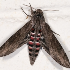 Agrius convolvuli (Convolvulus Hawk Moth) at Melba, ACT - 12 Jan 2021 by kasiaaus