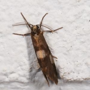 Anestia (genus) at Melba, ACT - 13 Jan 2021