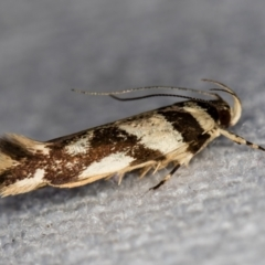 Macrobathra desmotoma ( A Cosmet moth) at Melba, ACT - 31 Dec 2020 by Bron