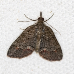 Microdes squamulata (Dark-grey Carpet) at Melba, ACT - 31 Dec 2020 by Bron