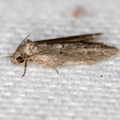 Oenochroa and Artiastis (genera) at Melba, ACT - 1 Jan 2021
