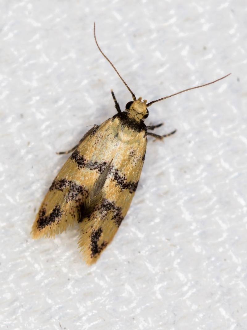 Psaroxantha undescribed species at Melba, ACT - 1 Jan 2021