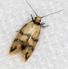 Psaroxantha undescribed species (A concealer moth) at Melba, ACT - 31 Dec 2020 by Bron