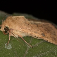 Helicoverpa (genus) (A bollworm) at Melba, ACT - 31 Dec 2020 by Bron