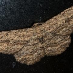 Ectropis excursaria (Common Bark Moth) at Melba, ACT - 1 Jan 2021 by Bron