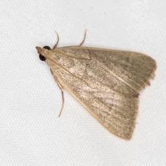 Ocrasa albidalis (A Pyralid moth) at Melba, ACT - 1 Jan 2021 by Bron