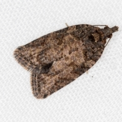 Thrincophora impletana (A Tortricid moth) at Melba, ACT - 1 Jan 2021 by Bron