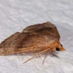 Meranda susialis (Three-lined Snout Moth) at Melba, ACT - 12 Jan 2021 by kasiaaus