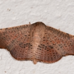 Aglaopus centiginosa (Dark-fringed Leaf Moth) at Melba, ACT - 12 Jan 2021 by kasiaaus