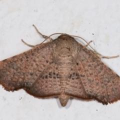 Aglaopus centiginosa at Melba, ACT - 13 Jan 2021