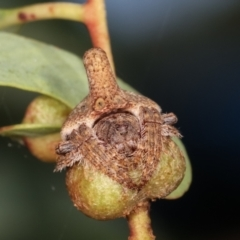 Dolophones turrigera (Turret spider) at Lake Ginninderra - 12 Jan 2021 by kasiaaus