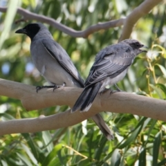 Coracina novaehollandiae (Black-faced Cuckooshrike) at Albury - 19 Jan 2021 by PaulF