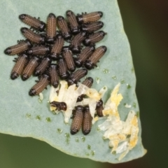 Paropsis sp. (genus) (TBC) at Lake Ginninderra - 12 Jan 2021 by kasiaaus