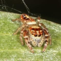 Opisthoncus sp. (genus) (Unidentified Opisthoncus jumping spider) at Lake Ginninderra - 12 Jan 2021 by kasiaaus